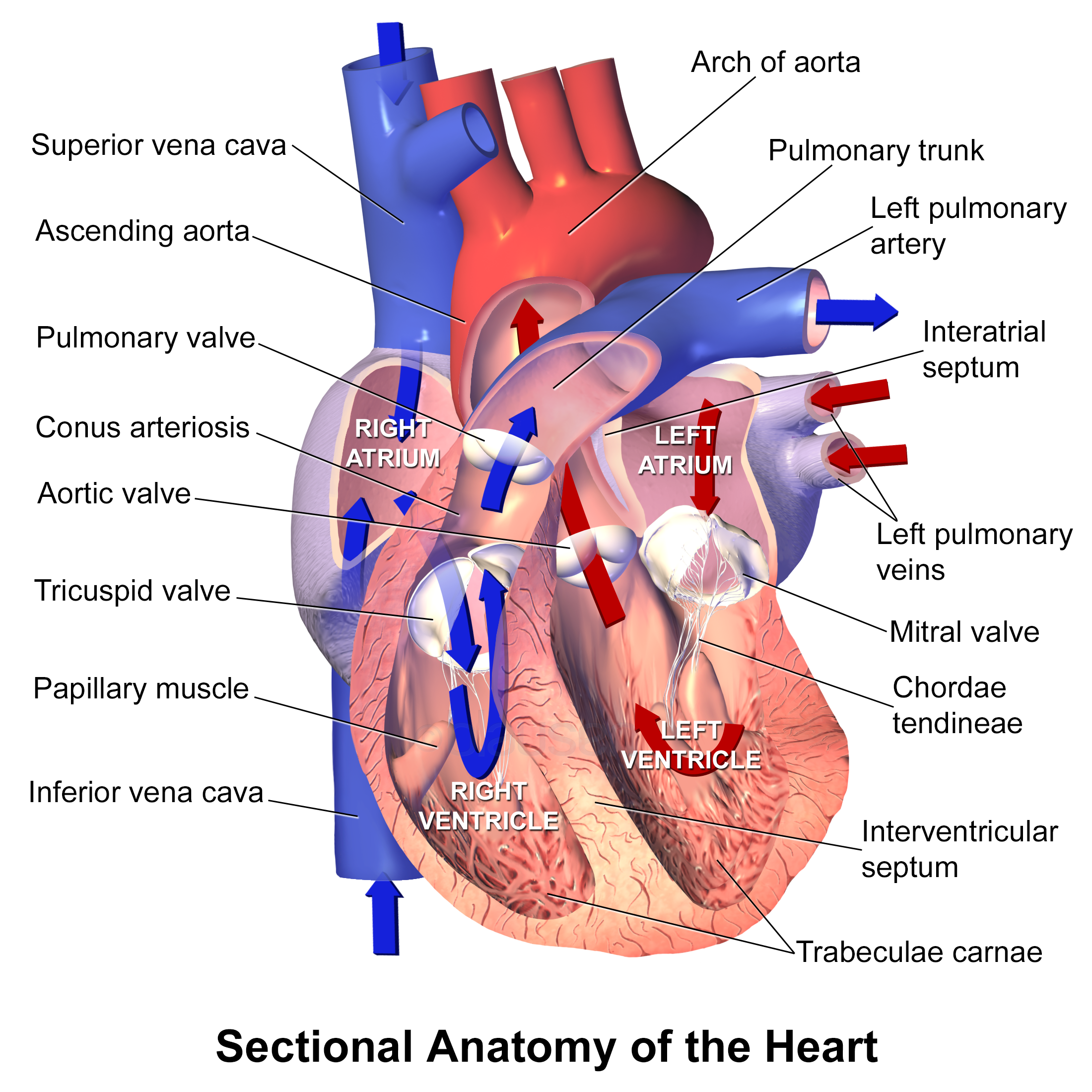Cardiac Valves FOAMED